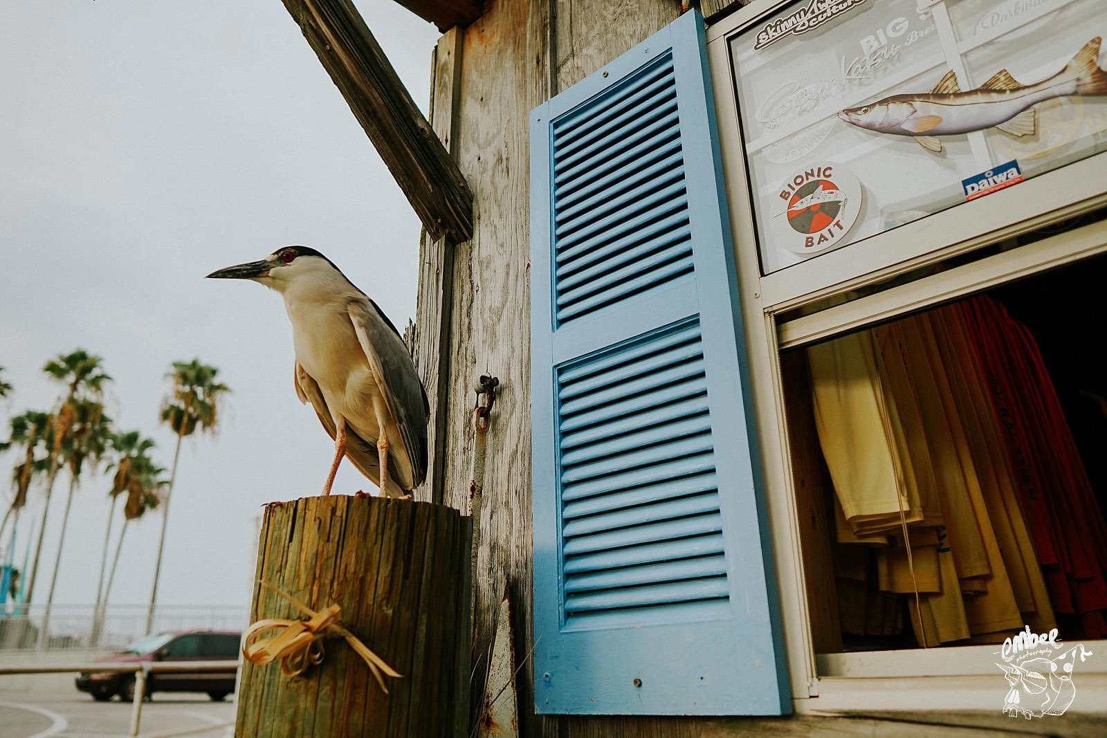 chuck the night heron at the bait house in clearwater